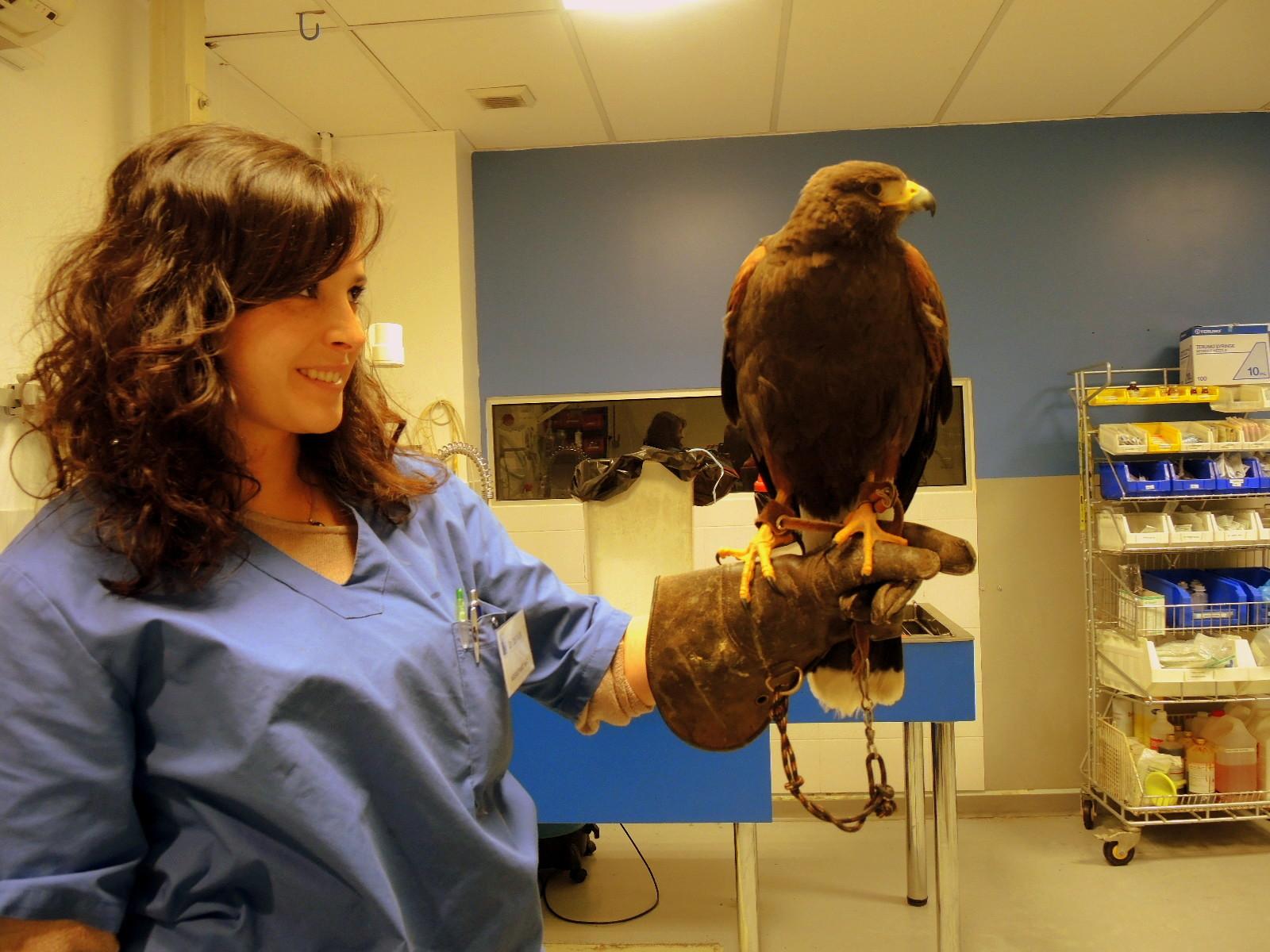 Buse de harris presentee pour suspicion d aspergillose par son veterinaire traitant 2h30 de route