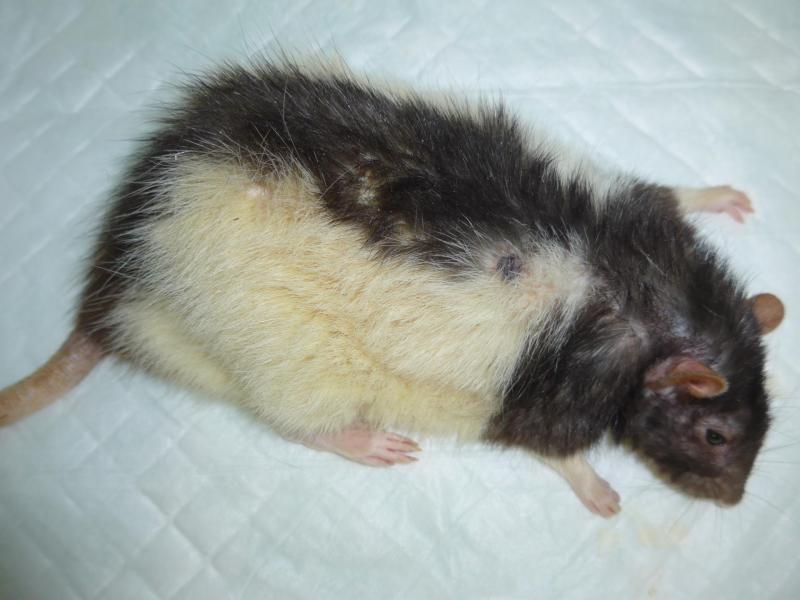 Rat détresse respiratoire - NAC Atlan Vet