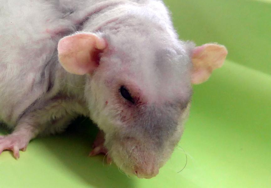 Chromodacryorrhée rat conjonctivite - NAC Atlan Vet