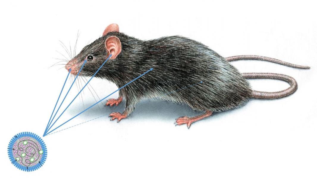 Rat mycoplasme - NAC Atlan Vet