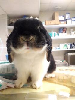 Vaccination lapin nobivac filavac une seule injection en meme temps dr coquelle veterinaire nac paris